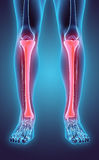 3D illustration of Tibia, medical concept. 3D illustration of Tibia - Part of Human Skeleton Stock Photography