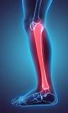 3D illustration of Tibia, medical concept. 3D illustration of Tibia - Part of Human Skeleton Stock Photo