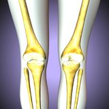 3D illustration of Tibia - Part of Human Skeleton. The fibula or calf bone is a leg bone located on the lateral side of the tibia, with which it is connected Royalty Free Stock Images
