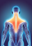 3D illustration of Trapezius. 3D illustration of Trapezius, Part of Muscle Anatomy Royalty Free Stock Image