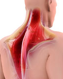 3D illustration of Trapezius. 3D illustration of Trapezius, Part of Muscle Anatomy Royalty Free Stock Images