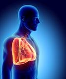3D Illustration von Lungen, medizinisches Konzept Stockfoto