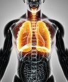 3D Illustration von Lungen, medizinisches Konzept Lizenzfreies Stockbild