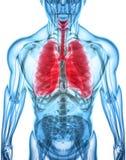 3D Illustration von Lungen, medizinisches Konzept Lizenzfreie Stockbilder