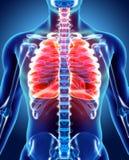 3D Illustration von Lungen, medizinisches Konzept Lizenzfreies Stockfoto