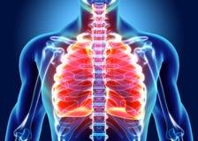 3D Illustration von Lungen, medizinisches Konzept Stockbild