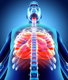3D Illustration von Lungen, medizinisches Konzept Stockfotos