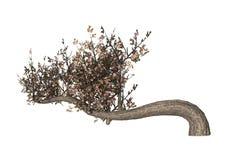 3D illustrazione Cherry Tree su bianco Fotografia Stock