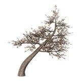 3D illustrazione Cherry Tree su bianco Fotografia Stock Libera da Diritti