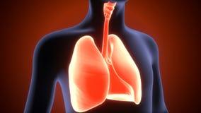 3d ilustracja ciał ludzkich płuc anatomia Zdjęcie Royalty Free