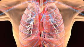 3d ilustracja ciał ludzkich płuc anatomia Fotografia Royalty Free