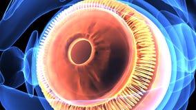 3d ilustracja ciała ludzkiego oka anatomia ilustracji