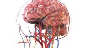 3d ilustracja ciała ludzkiego organbrain anatomia royalty ilustracja