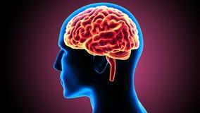 3d ilustracja ciała ludzkiego organsbrain anatomia ilustracja wektor