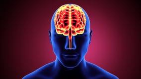 3d ilustracja ciała ludzkiego organsbrain anatomia ilustracji