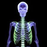 3d ilustracja ciało ludzkie kościec Zdjęcie Stock