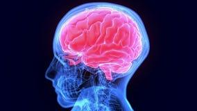 3d ilustracja ciało ludzkie organowa móżdżkowa anatomia ilustracji