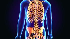 3d ilustracja ciało ludzkie Osiowego kośca anatomia ilustracji