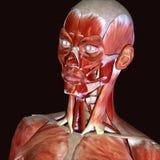 3d ilustracja ciało ludzkie twarzy mięśnie Obrazy Stock