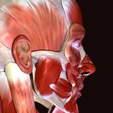 3d ilustracja ciało ludzkie twarzy mięśnie Royalty Ilustracja
