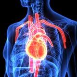 3d ilustracja ciała ludzkiego serca anatomia Zdjęcia Stock