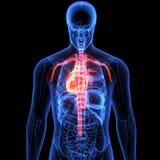 3d ilustracja ciała ludzkiego serca anatomia Obrazy Royalty Free