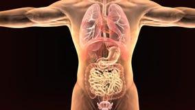 3d ilustracja ciało ludzkie organy Obrazy Stock