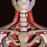 3d ilustracja ludzcy zredukowani mięśnie Zdjęcie Stock