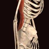 3d ilustracja ludzcy zredukowani mięśnie Obrazy Stock