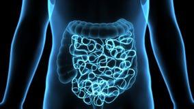 3D ilustracja Ludzka Trawiennego systemu anatomia & x28; Żołądek z Małym Intestine& x29; Obraz Stock