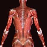3D ilustracja mięśnie i anatomia Zdjęcie Stock