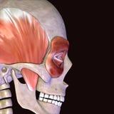 3D ilustracja mięśnie i anatomia Ilustracja Wektor