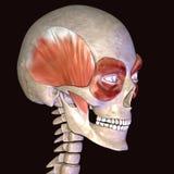 3D ilustracja mięśnie i anatomia Zdjęcia Stock
