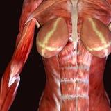 3d ilustracyjny żeński ciało ludzkie Royalty Ilustracja