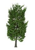 3D Ilustracyjny Cisawy drzewo na bielu Zdjęcia Stock