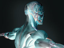 3D imagery of human anatomy. 3D imaging of human anatomy centering on muscles and arteries stock images