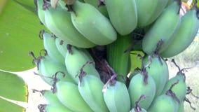 D'inclinaison banane verte vers le bas banque de vidéos