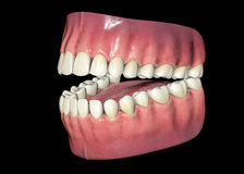 3D Isolated Teeth. Royalty Free Stock Images