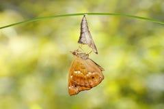 D'isolement émergé de la chrysalide du hangin brun de papillon de prince Photos libres de droits