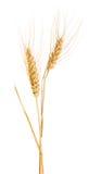 D'isolement deux oreilles de blé d'or avec des barbelures Images libres de droits