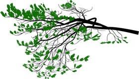 D'isolement sur la branche de pin verte luxuriante blanche Image stock