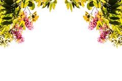 D'isolement sur le fond blanc, le vert laisse l'inthanin, fleur rose Image libre de droits