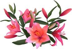 D'isolement sur le groupe rose lumineux blanc de lis Image stock