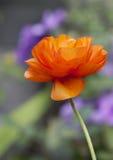 D'isolement tout droit pavot orange refoulé simple avec un fond de bokeh images stock