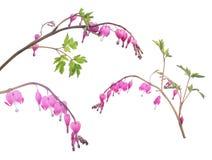 D'isolement trois branches avec de petites fleurs roses Photos stock