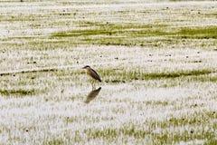 D'Italia di Cavaliere che cammina nelle risaie Fotografia Stock Libera da Diritti