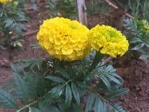 D?lia amarela no jardim fotografia de stock royalty free
