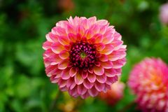 D?lia na flor fotos de stock