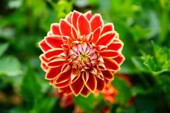 D?lia na flor imagens de stock
