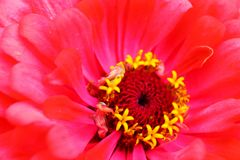 D?lia na flor fotos de stock royalty free